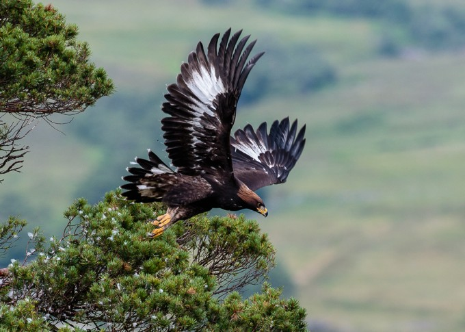 Photographing Golden Eagles